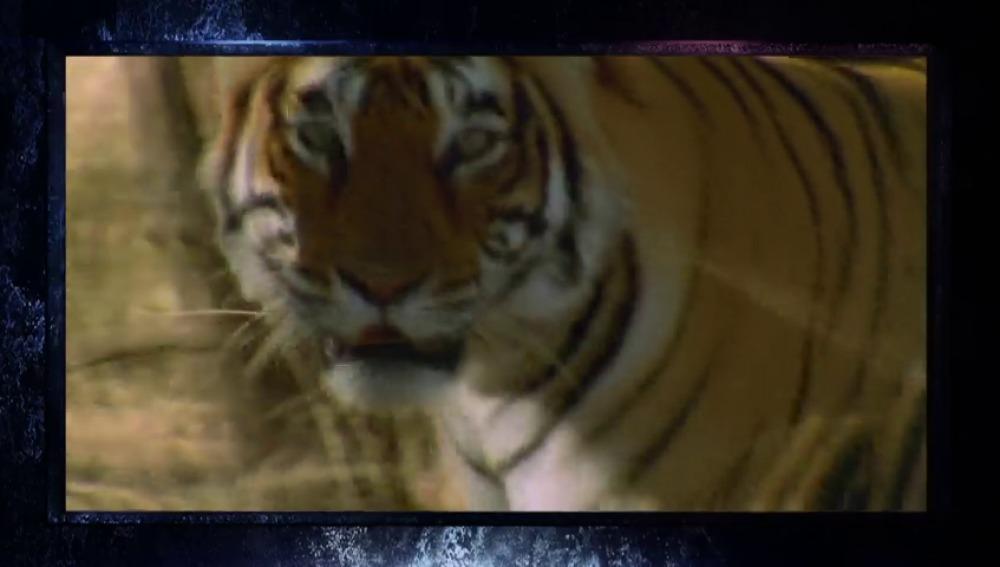 Frame 4.666822 de: El tigre, el felino más grande el mundo
